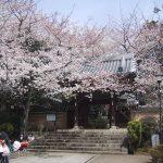 法明寺の桜2017見頃と開花のピークと行き方ルートのオススメは?