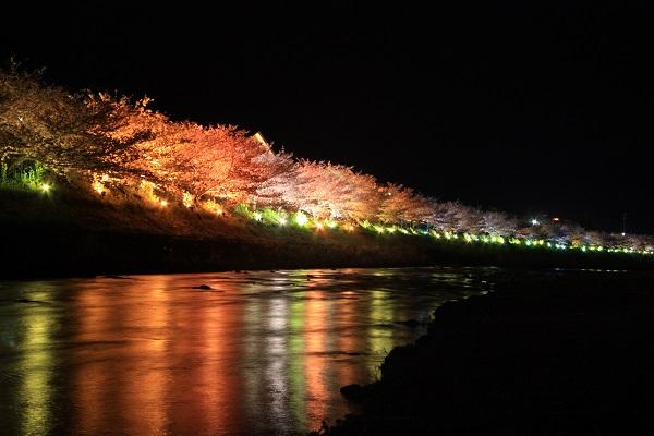 河津桜ライトアップ01