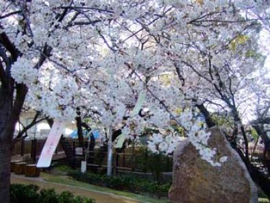桧原桜短冊