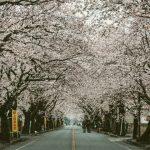 夜の森(福島)の桜並木の行き方アクセスは?口コミ・評判も調査