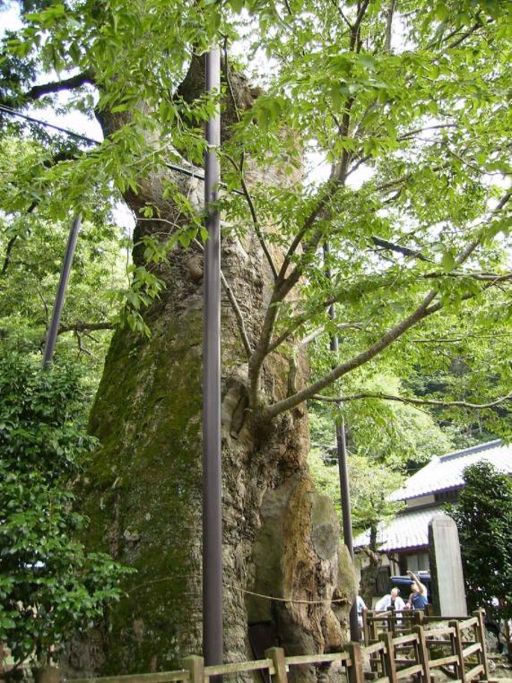 根古屋神社の大ケヤキ