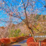 城峯公園の冬桜