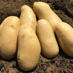 三島馬鈴薯のお取り寄せは楽天やアマゾンやYahooからも可能?