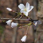 桜山公園の冬桜2017の開花状況と見頃は?ライトアップと口コミも調査
