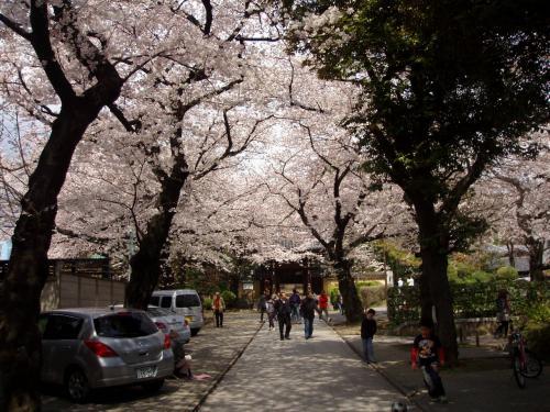 法明寺参道桜
