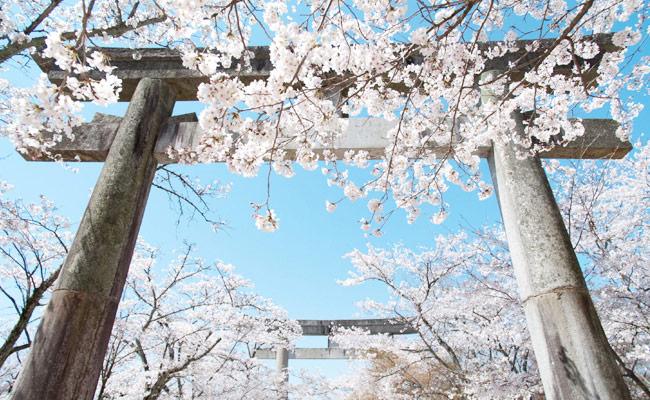 竈門神社桜