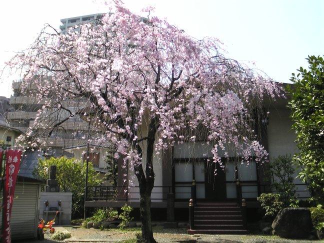法明寺しだれ桜