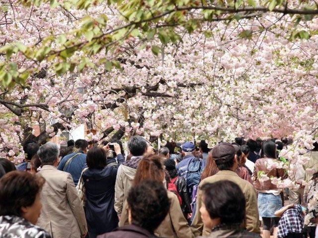 造幣局桜の通り抜け混雑状況