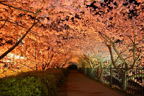 河津桜ライトアップ02