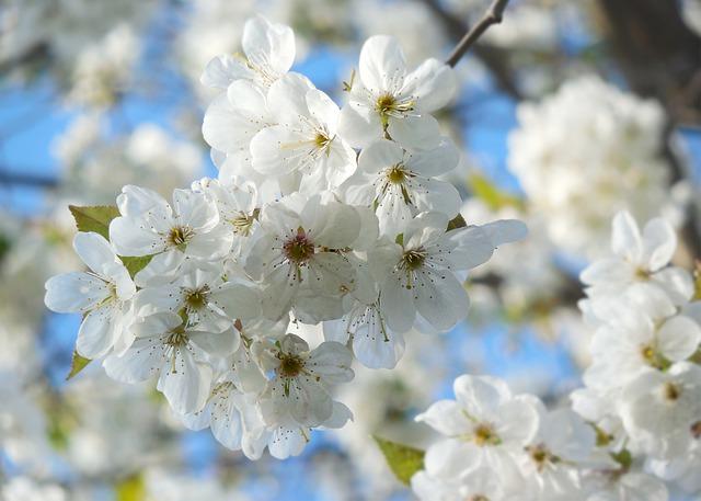長瀞の桜まつり2019の見頃とライトアップは?口コミと混雑も調査