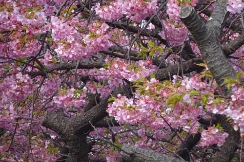 20170222河津桜