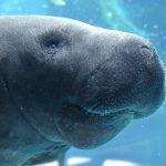 菊池夢美海洋生物学者のプロフィールは?マナティのいる水族館も調査!