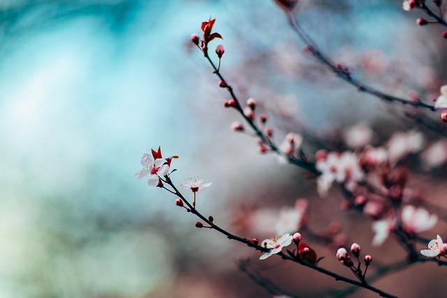城峯公園冬桜2018の開花状況と見頃のピークは?ライトアップの日時も調査