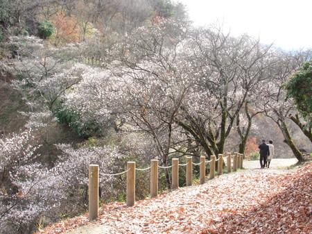 桜山公園冬桜