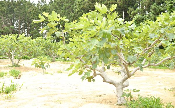 いちじくの木