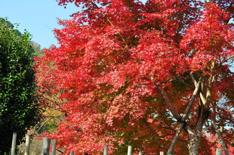 熱海梅園 紅葉2