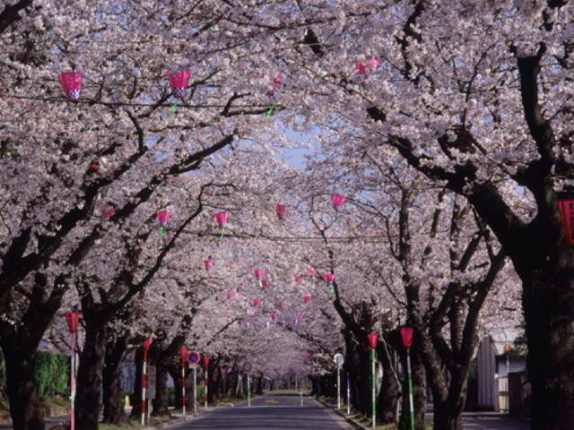 桜トンネル2
