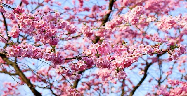 名古屋城の桜2019の開花時期と見頃は?とライトアップと混雑も調査