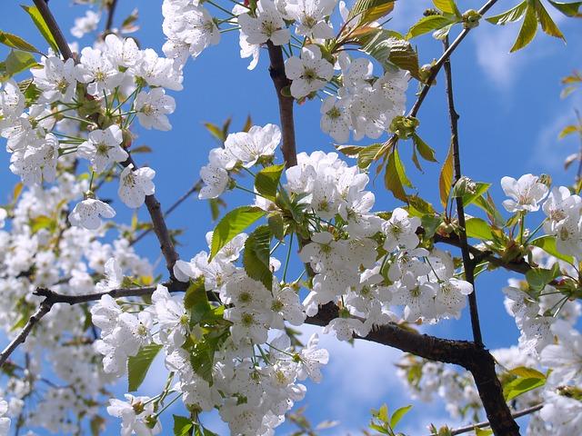 水源公園の桜まつり2019と開花とライトアップは?駐車場も調査!