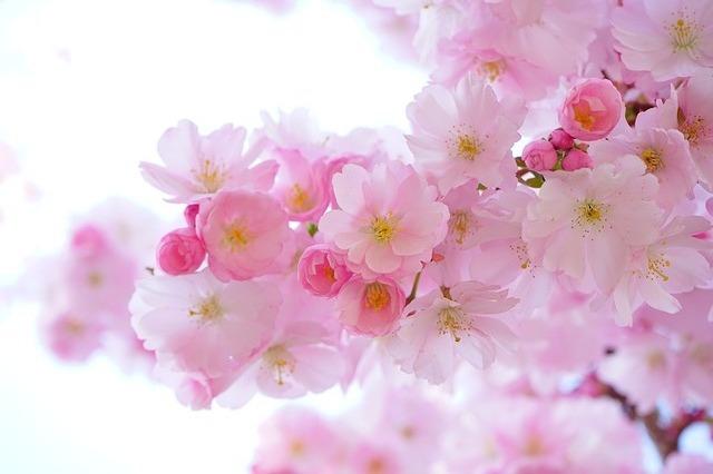 津山城鶴山公園の桜まつり2019の開花情報と見頃は?駐車場と入場料も調査