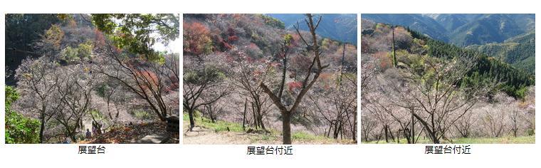 桜山公園2018冬桜