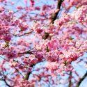 岡崎公園の桜祭り2019見頃と開花状況は?駐車場と混雑も調査!
