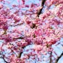 亀城公園(刈谷)の桜まつり2019のライトアップは?屋台や混雑も調査